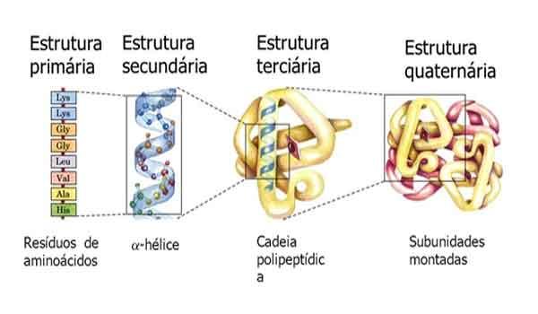 Proteínas: Função, tipos, estrutura, importância - Resumo