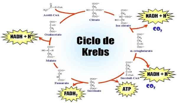 Ciclo do ácido cítrico: o que é, fases - resumo