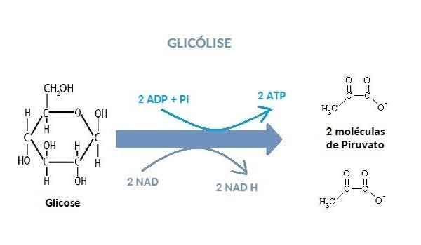 Glicólise: o que é, processos, função - Resumo