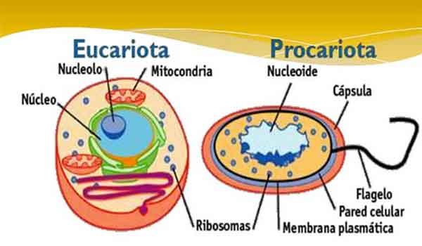 Diferenças entre células eucariontes e procariontes - Resumo