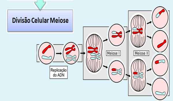 Meiose: I e II, o que é, fases, como ocorre - Resumo