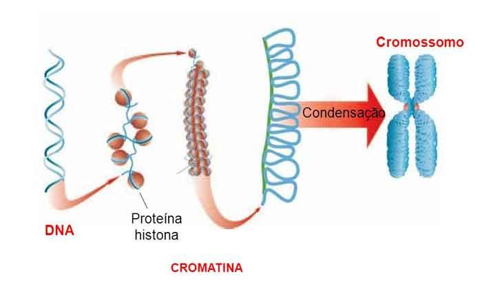 Organização e Estrutura do DNA