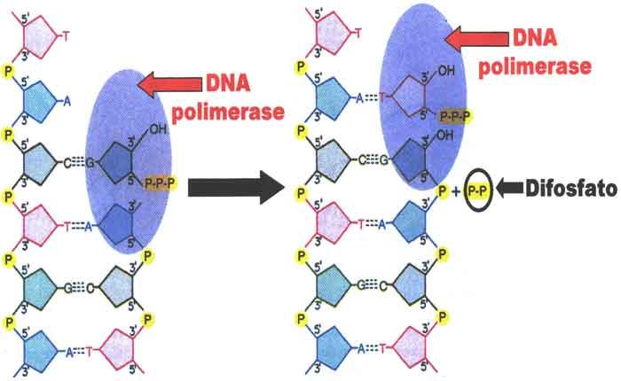 O que é DNA polimerase: definição, como funciona