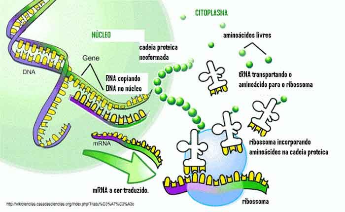 Tradução do RNA: o que é, como ocorre
