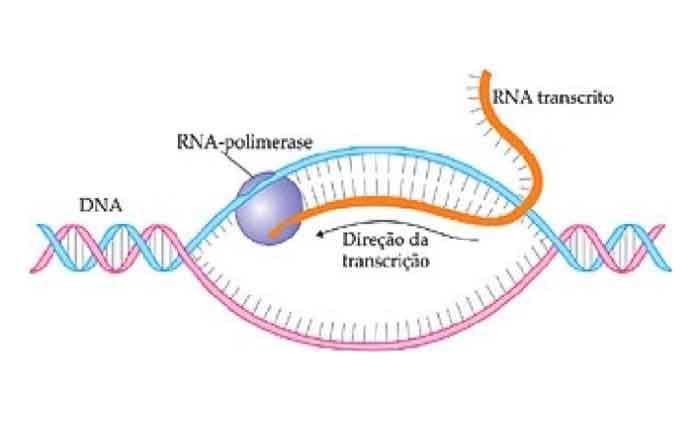 Transcrição do DNA: o que é, como acontece, pra que serve