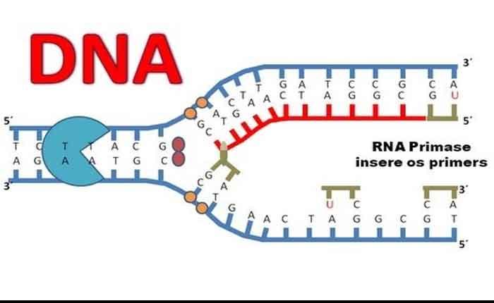 Replicação do DNA: entendas as etapas de Duplicação do DNA